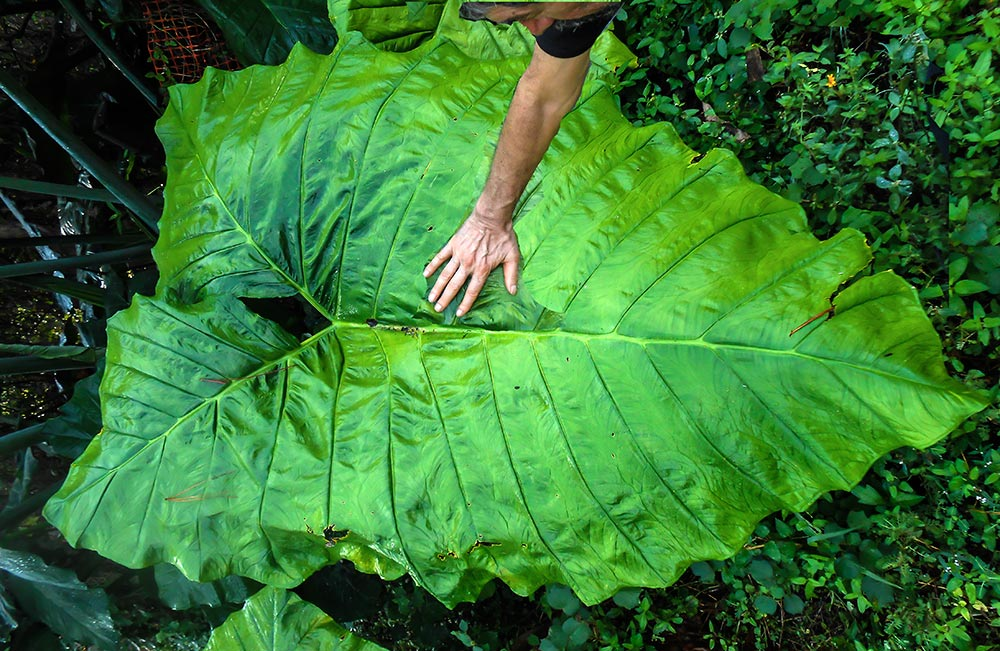 Marlene-Big-Leaf-5099