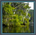 BlueHeronCypress-4966-3