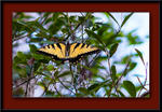 ButterFly-Yellow-Swallowtail-2686