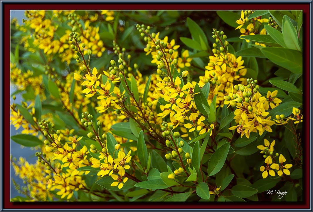 YellowFlowerBush-8977
