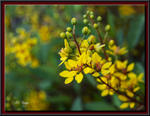 YellowFlowerBush-8979