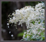 Falling-Flowere-of-Elderberry-1110457