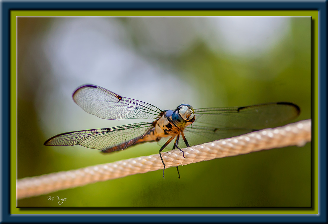 DragonFly-8558
