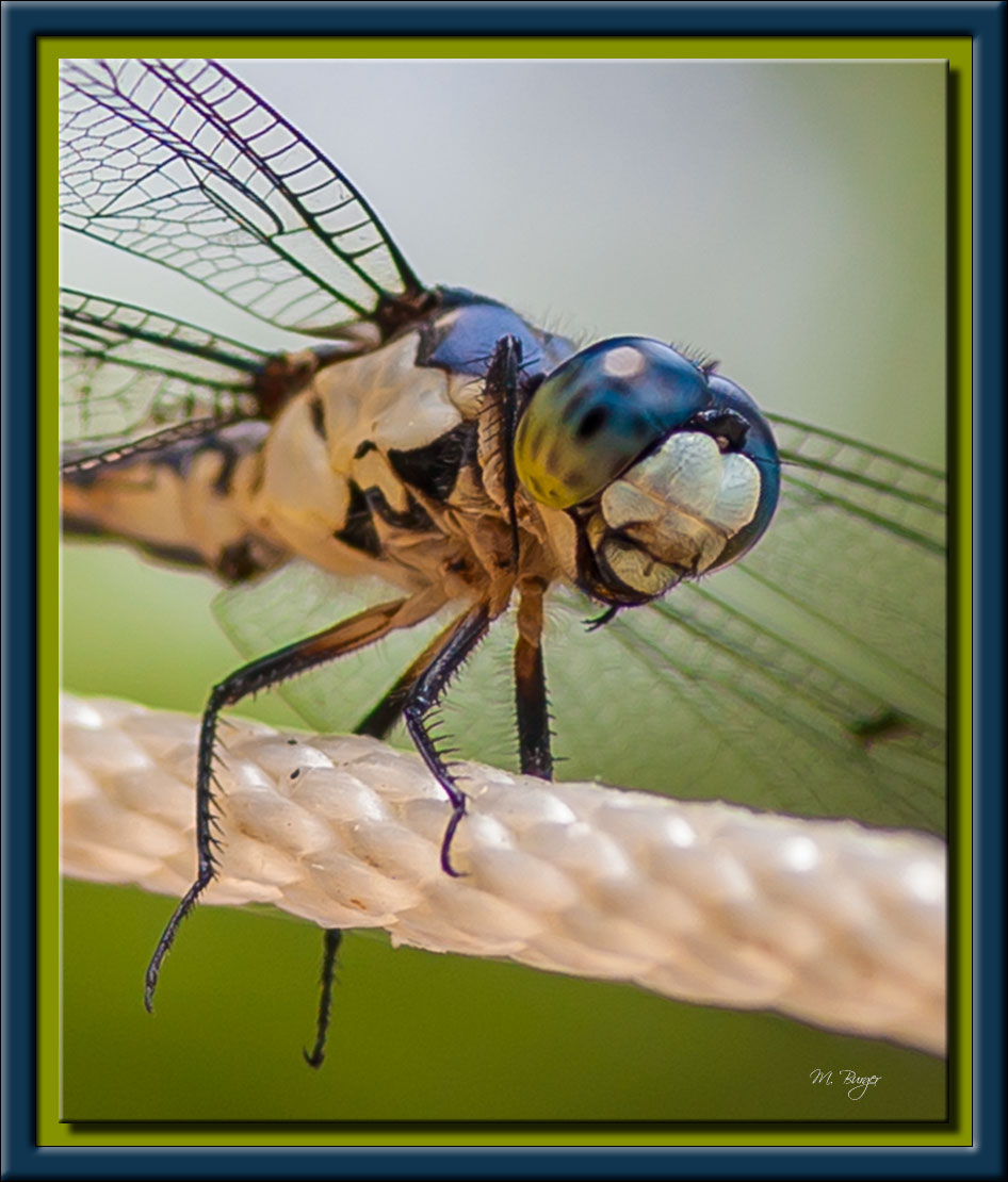 DragonFly-8559