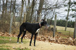 Spirit-The newest member of our Greyhound herd, Isn't he handsome?Nikon D70 18-70mm DX