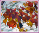 Autumn Leaves in FL