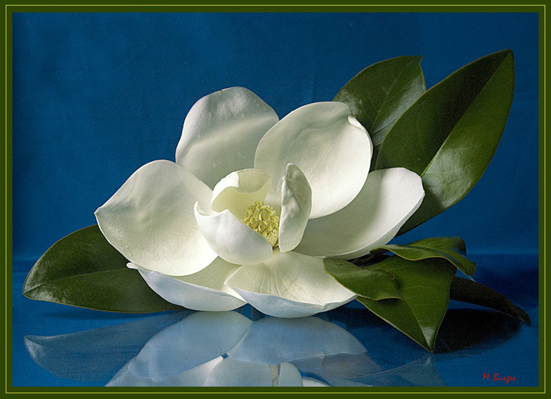 "White Magnolia on Stretched Canvas Giclée-Size 35""x25"" edition 350/350"