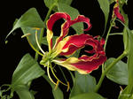 "Gloriosa Supurbea-Red Flame-on Stretched Canvas Giclée-Size 40""x29.5"" edition 350/350"