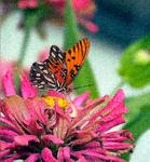 "Monarch-on-Pink Flower- on Stretched Canvas Giclée-5Size 18""x20"" edition 250/250"