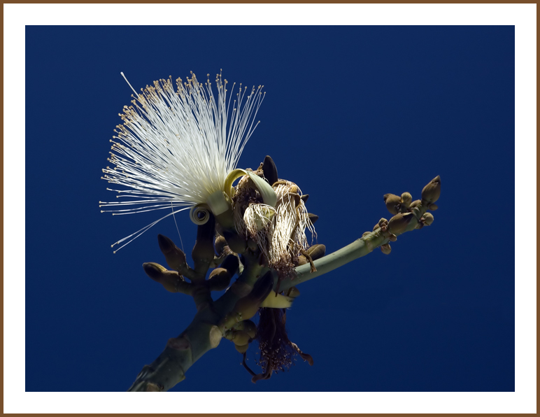 Shaving Brush Tree Blossoms