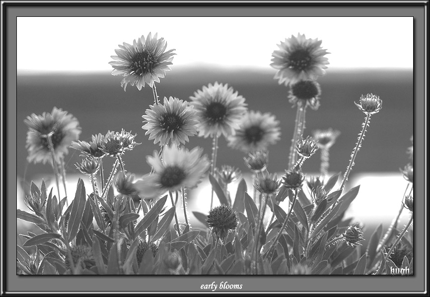 e4828 EarlyBlooms-bw