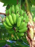 maui bananas oil