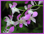 orchid light purple border