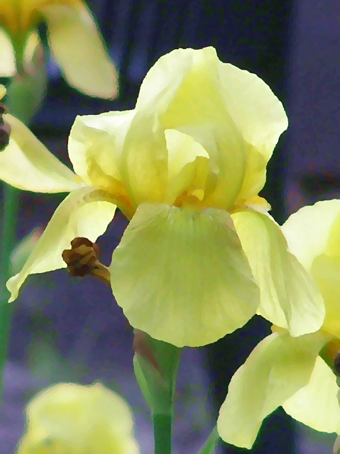 yellow iris oil