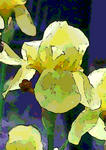 yellow iris oil abstract