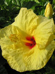 hibiscus yellow honolulu