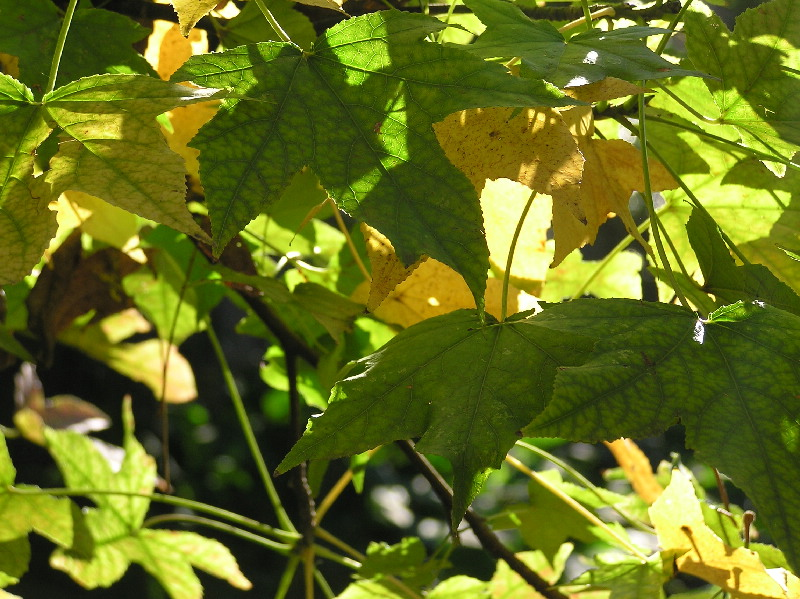 sweetgum leaves transition