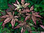 japanese maple painting