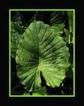 elephant ear framed