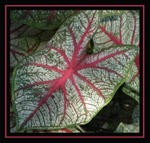 caladium framed