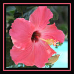 hibiscus framed