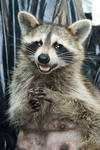 D22 2605-Raccoon-2