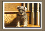 Riley the Schnauzer Pup