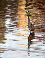 GeorgeKWeir-Blue-Heron