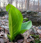 Skunk Cabbage, Spring, YAY!