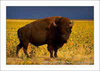 Ikzook Bison and Sunflowers