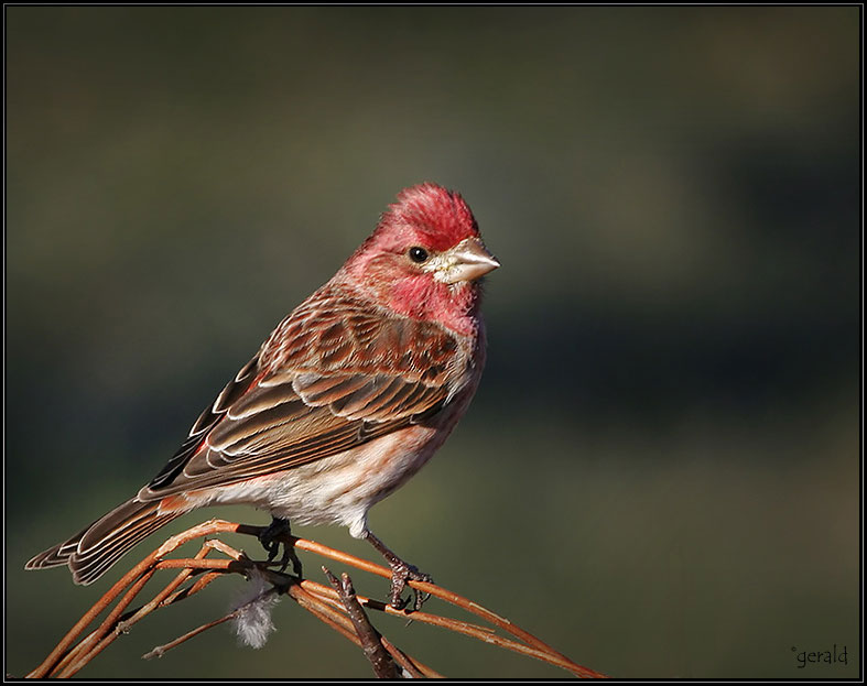 geraldjohnson HouseFinch