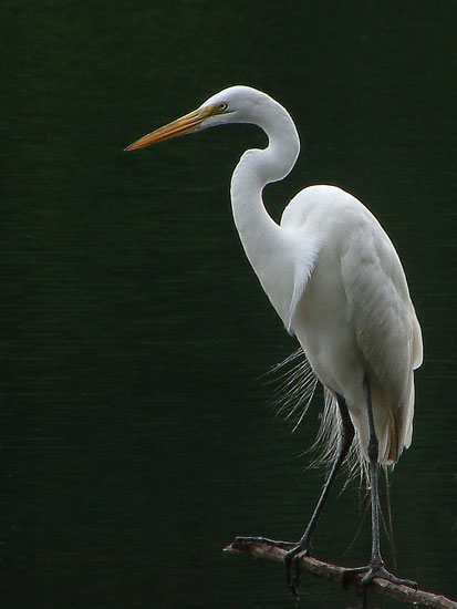 MorrisA Great Egret