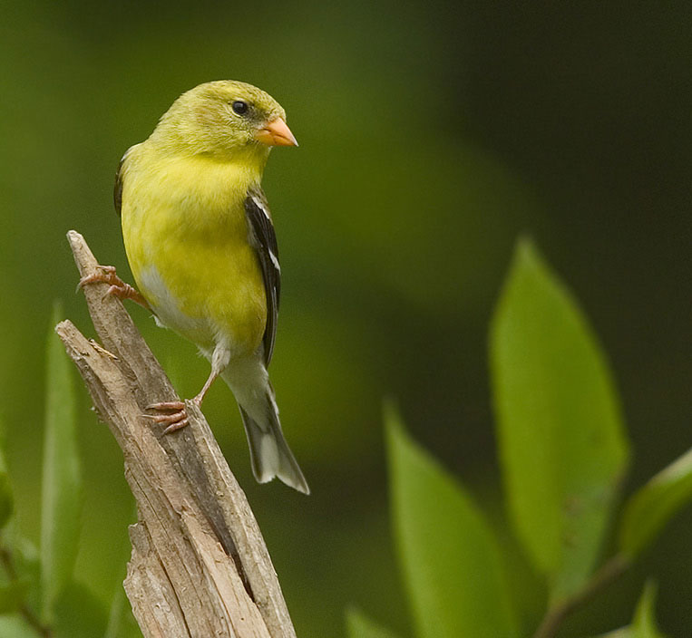 Dogleader Goldfinch