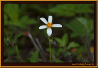 d8404_SmallWhiteFlower