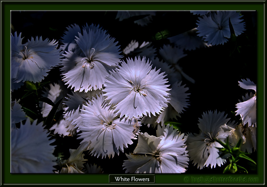 D40_0018_WhiteFlowers