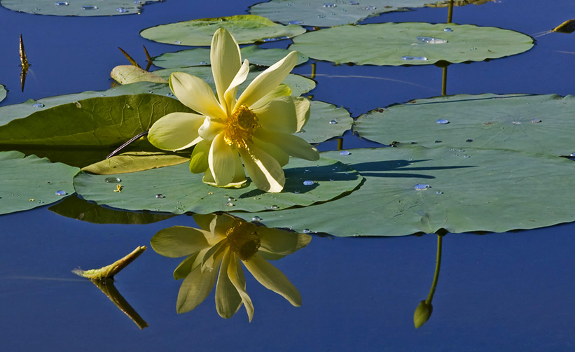 WaterLilly_3639