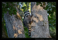 2007-09_7298Raccoon