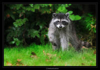 0453Raccoon