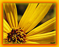 Yellow_flower2_web