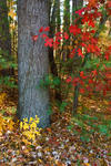 D5569-Tree-woods-with-color