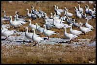 Geese_on_Ground_web