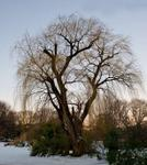 _DSC7636-Leafless-willow
