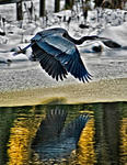 _DSC7554-Heron-in-flight-crop