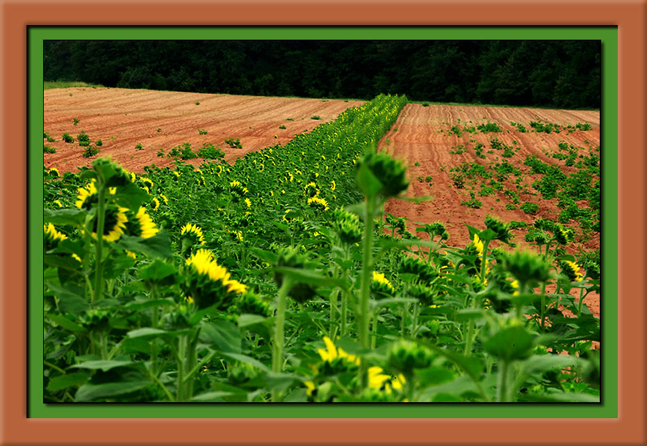 y5403 Sunflowers 04