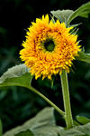 _DSC1298-Sunflower