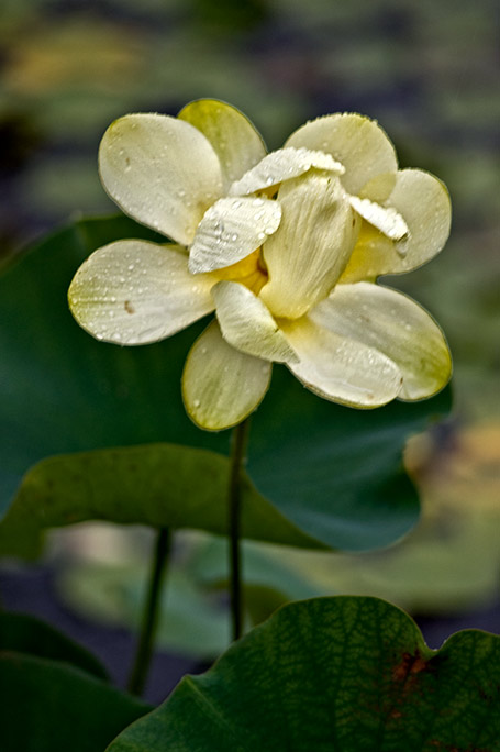 _DSC1346-Yellow-Lotus