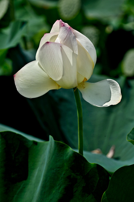 _DSC4106-Mostly-white-Lotus