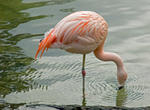 Flamingo-Rose