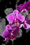_DSC2294-Purple orchids