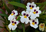 _DSC2301-Orchid bunch